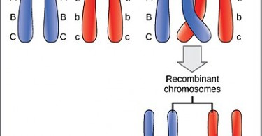 What is the Difference Between Linked and Unlinked Genes