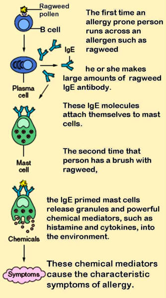 What is the Difference Between Mast Cell and Basophil