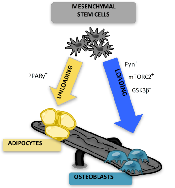 What is the Difference Between Mesenchymal and Hematopoietic Stem Cells