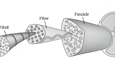 Difference Between Muscle and Tendon
