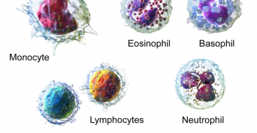 Main Difference - Neutrophils and Leukocytes
