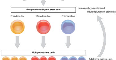 What is the Difference Between Pluripotent and Multipotent Stem Cells