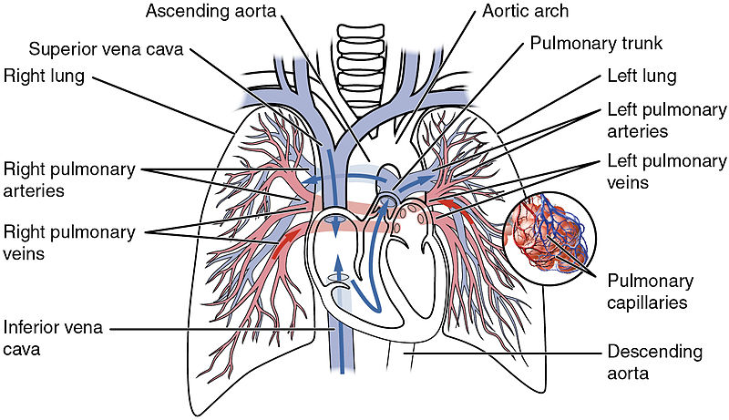What is the Difference Between Pulmonary Artery and Other Arteries