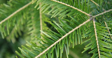 What is the Difference Between Spruce and Pine