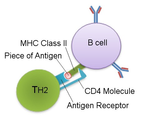 Main Difference - TH1 vs TH2 Helper Cells