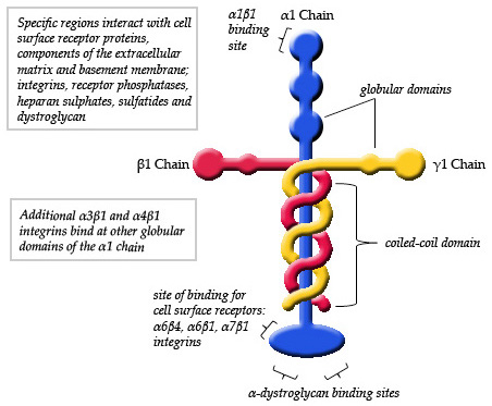 What Is The Difference Between Fibronectin And Laminin