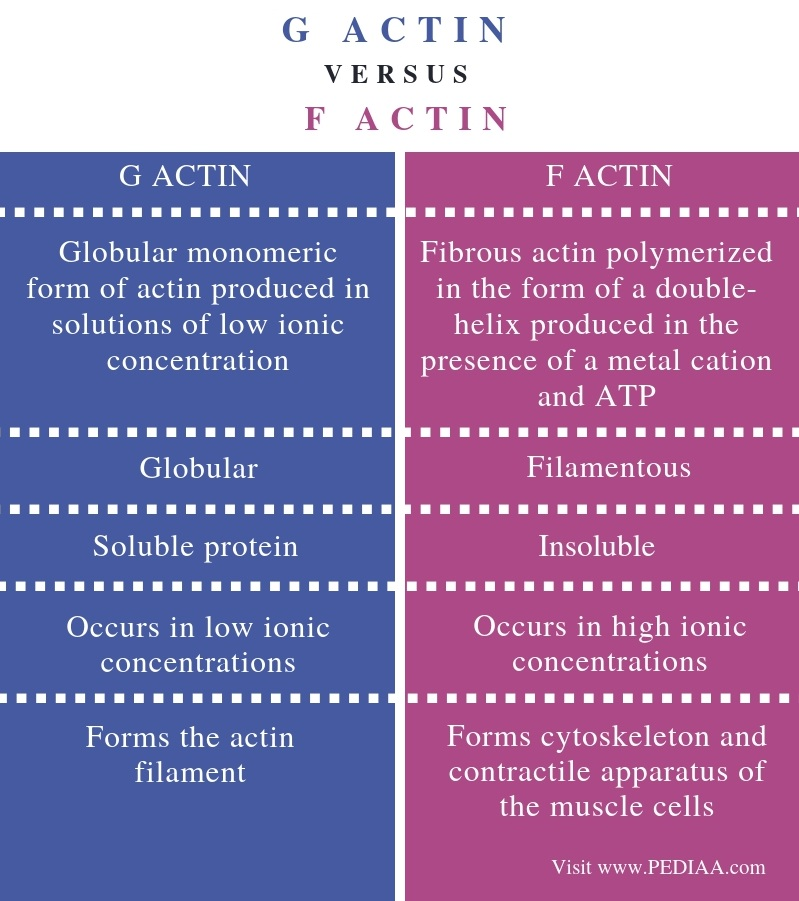 Difference Between G Actin and F Actin - Comparison Summary