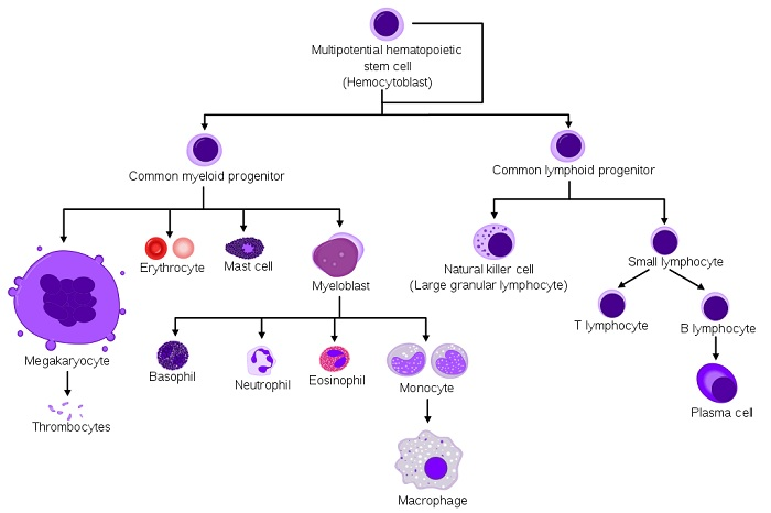 Main Difference - Myeloid vs Lymphoid Cells