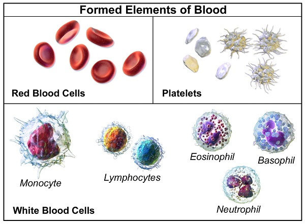 Difference Between Myeloid and Lymphoid Cells