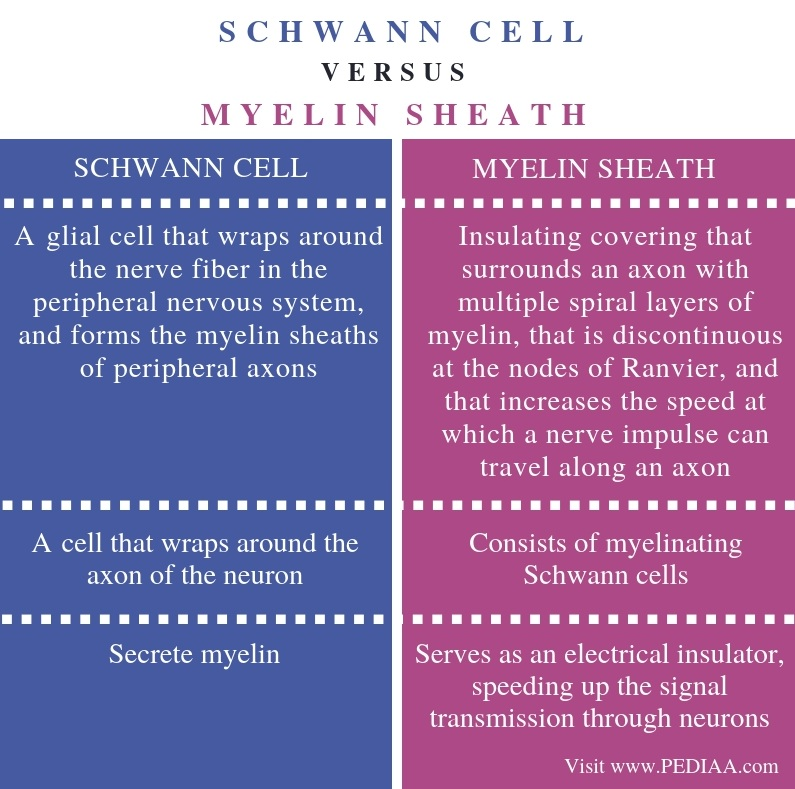 Difference Between Schwann Cell and Myelin Sheath - Comparison Summary