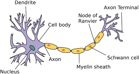 Difference Between Schwann Cell and Myelin Sheath