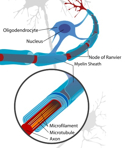 Main Difference - Schwann Cell vs Myelin Sheath