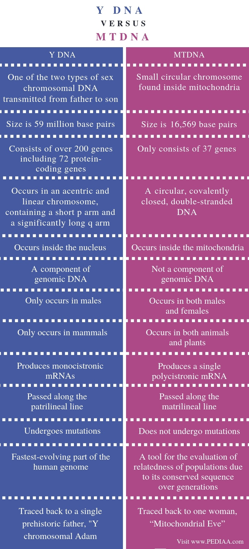 Difference Between Y DNA and mtDNA - Comparison Summary