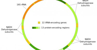 Difference Between Y DNA and mtDNA