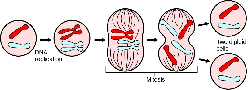 Difference in Alleles Between Parent Cell and Daughter Cells