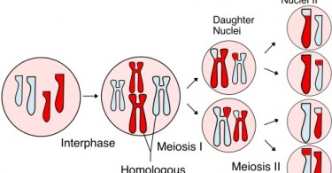 Main Difference - Alleles Between Parent Cell and Daughter Cells