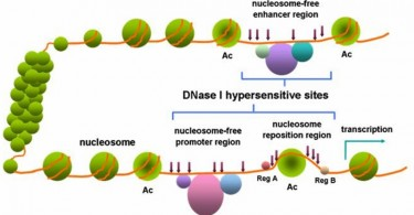 Difference Between DNA and DNase
