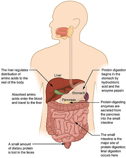 What is the Difference Between Digestion in Stomach and Digestion in Intestine