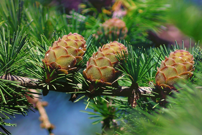 Difference Between Flowering Plants and Conifers_Figure 2