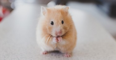 What is the Difference Between Hamster and Guinea Pig