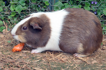 Main Difference - Hamster and Guinea Pig