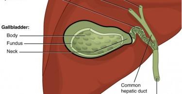 Difference Between Hepatic Bile and Gallbladder Bile