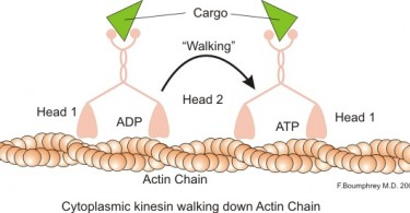 What is the Difference Between Kinesin and Myosin