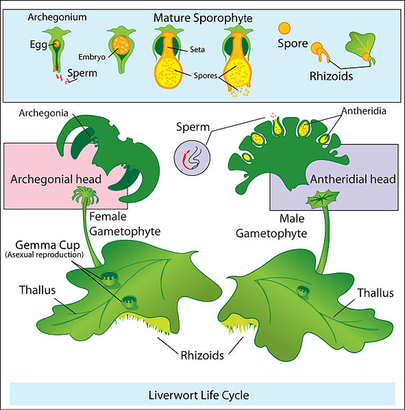 Difference Between Liverworts and Hornworts_Fig 02
