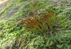 Difference Between Liverworts and Hornworts