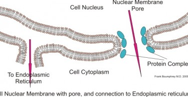 What is the Difference Between Nuclear Membrane and Nuclear Envelope