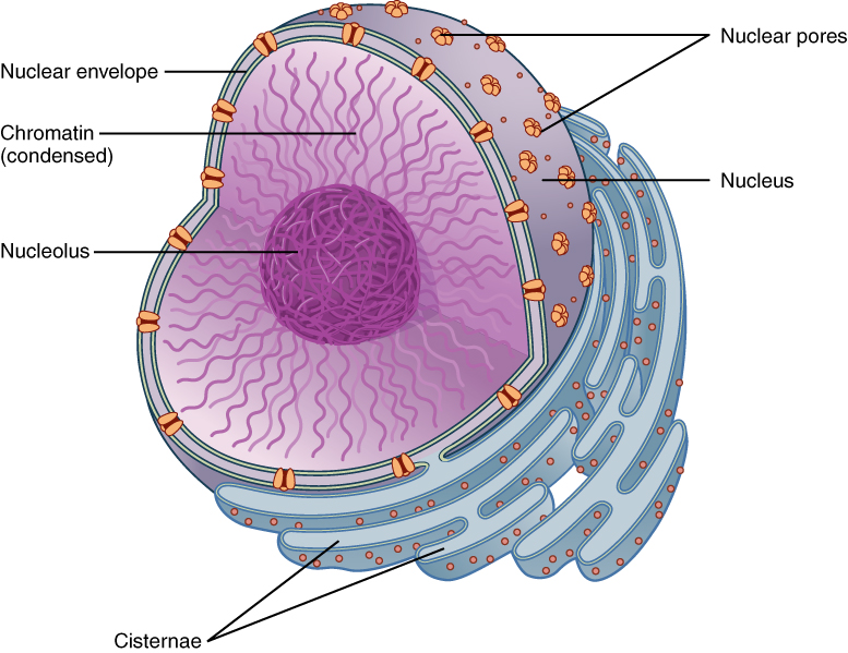 Main Difference - Nuclear Membrane and Nuclear Envelope