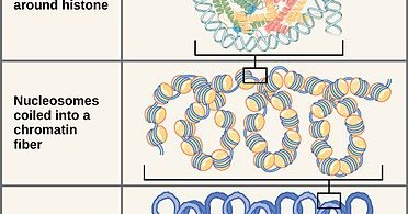 Difference Between Prokaryotic and Eukaryotic Chromosomes