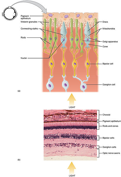 What is the Difference Between Rod Cells and Cone Cells