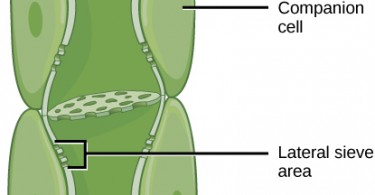 Difference Between Sieve Cells and Sieve Tubes
