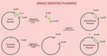 What is the Difference Between Single Digested Plasmid and Double Digested Plasmid