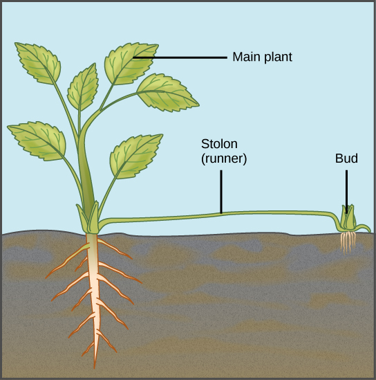 What is the Difference Between Stolon and Rhizome