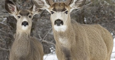 Difference Between Whitetail and Mule Deer