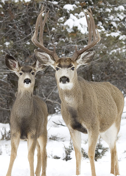 Difference Between Whitetail and Mule Deer_Fig 02