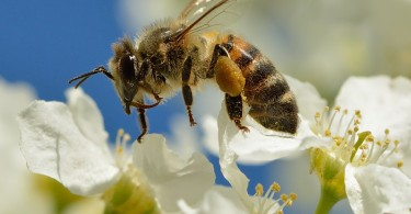 Difference Between Wild and Managed Pollinators