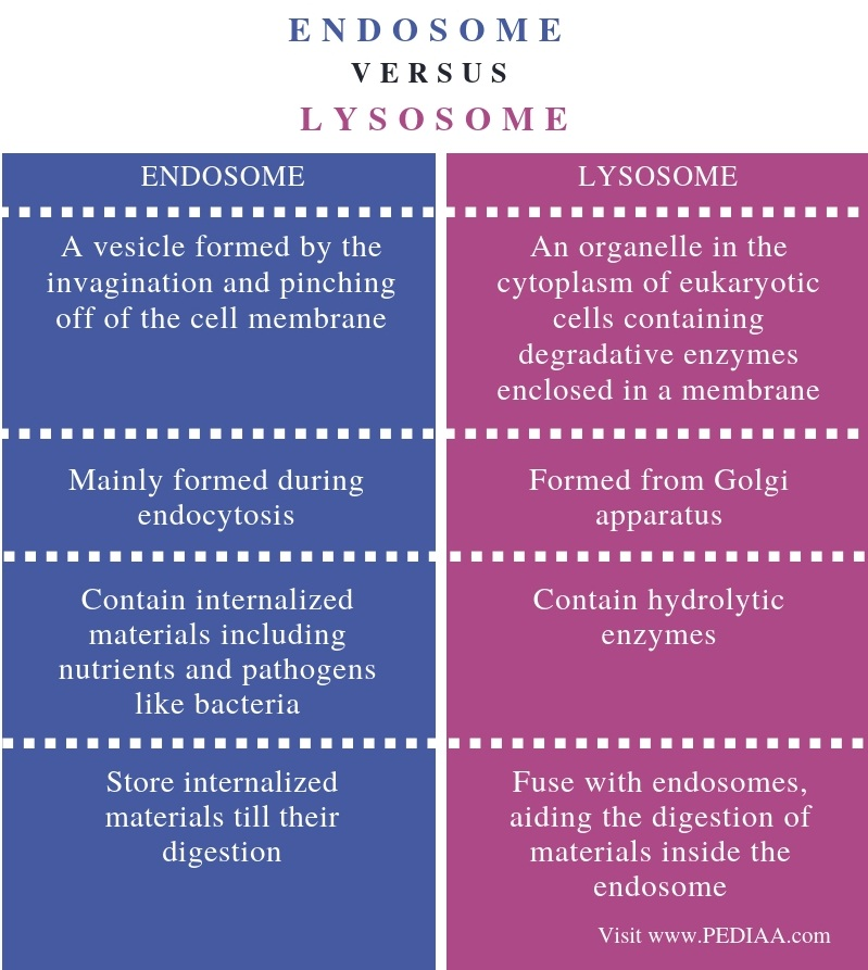 What Is The Difference Between Endosome And Lysosome