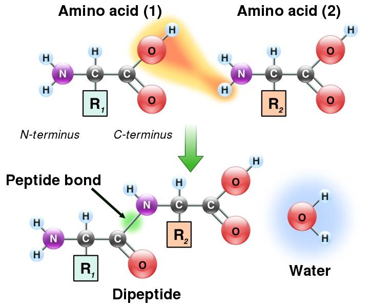 Perbedaan Antara Amide dan Peptida Bond