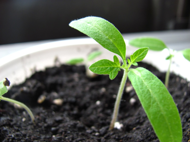Difference Between Cotyledons and True Leaves