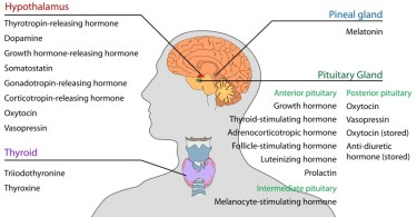 What is the Difference Between Direct and Indirect Hormone Action