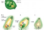 What is the Difference Between Embryo and Endosperm