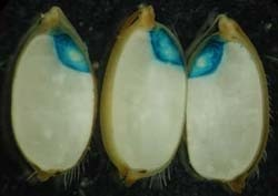 Difference Between Embryo and Endosperm