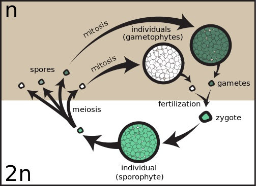 What is the Difference Between Homospory and Heterospory_Figure 1