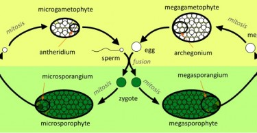 Difference Between Homospory and Heterospory