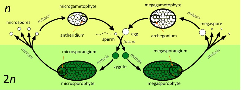 Difference Between Homospory and Heterospory_Figure 2