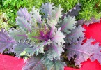What is the Difference Between Kale and Collard Greens