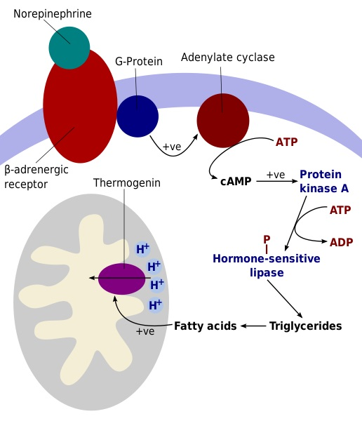 Difference Between Lipoprotein Lipase and Hormone Sensitive Lipase